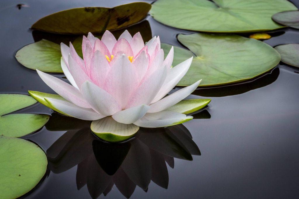 Fleur de lotus instant pour elles